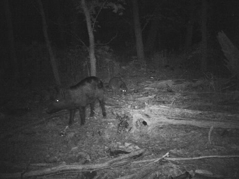 A Feral Hog foraging in the company of Raccoons.