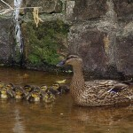 Mallard - Spring Means Ducklings!