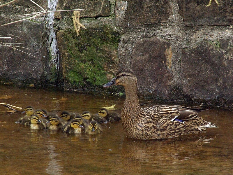 This Mallard was observed as she cautiously moved her ducklings downstream in a small creek in Carrollton, Texas. Their objective was to reach the open water of the large pond that the creek empties into just a few hundred yards/meters away.