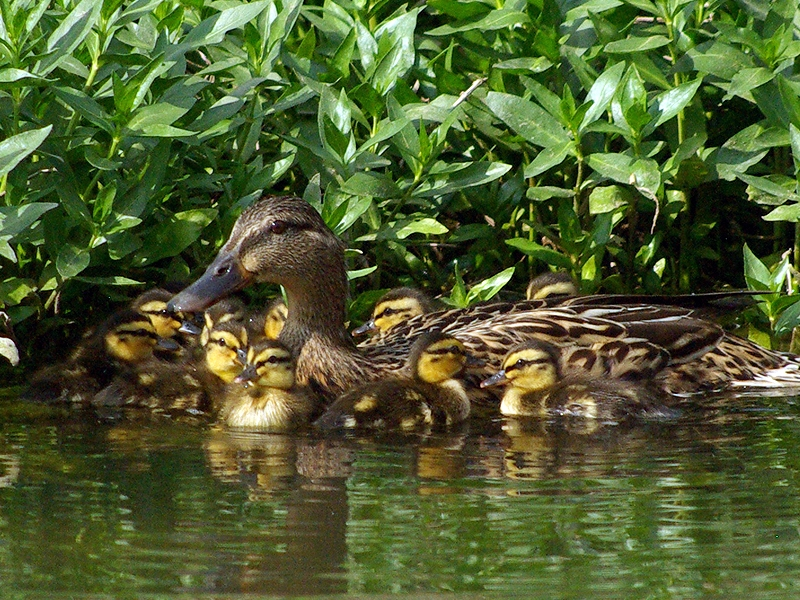 Whenever the mother duck felt nervous she would stop and gather her ducklings around her.