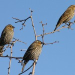 Red-winged Blackbird - Males Follow Females