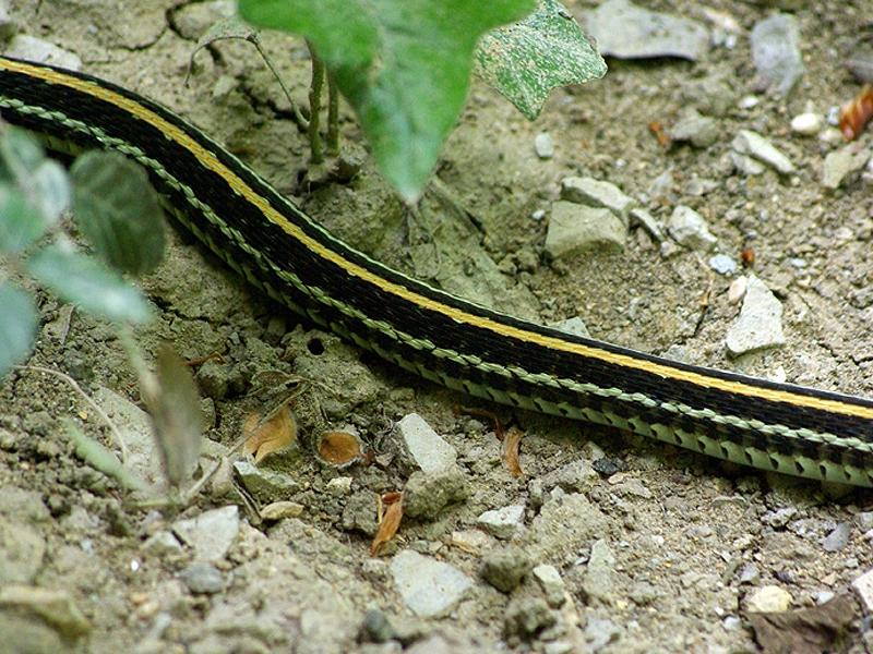 Texas Garter Snake – Not Hidden – DFW Urban Wildlife