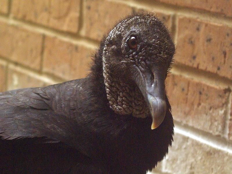 Black Vulture - Nest Update 4