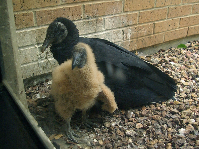 Black Vulture - Nest Update 5