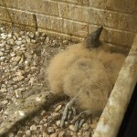 Black Vulture - Nest Update 7