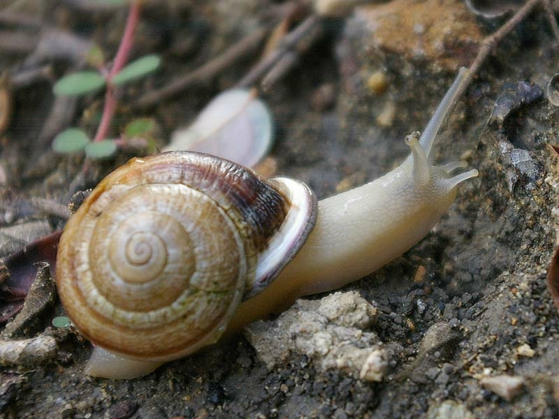 Brown Garden Snail - Rain