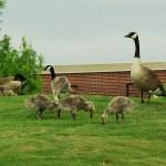 Canada Goose - Goslings!