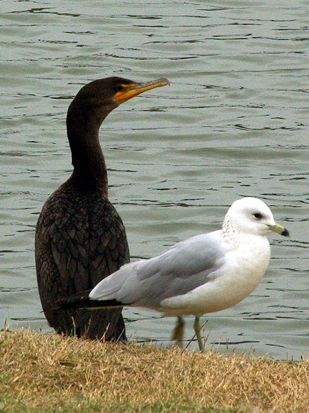 Double-crested Cormorant - Pond Watch