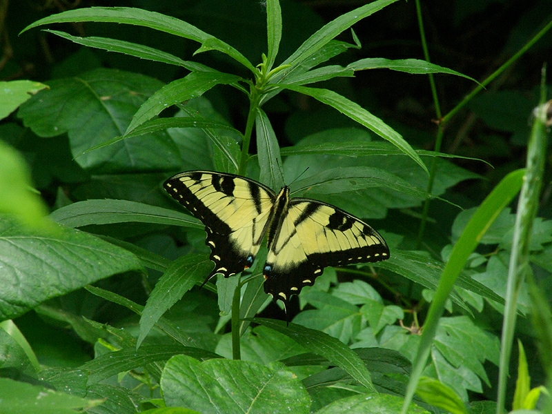 Eastern Tiger Swallowtail - Big and Bold