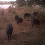 Feral Hog - Too Many to Count