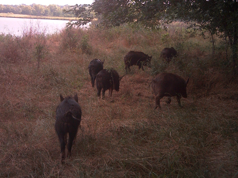 Feral Hogs foraging along the shore of a small lake in the Great  Trinity Forest.