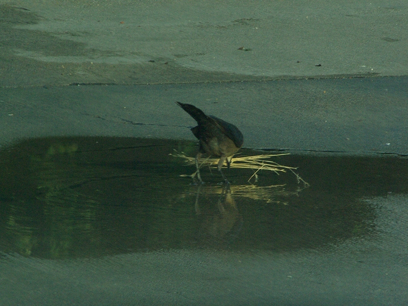 Great-tailed Grackle - Dunking