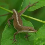 Green Anole - Wrong Color