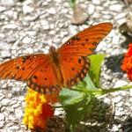 Gulf Fritillary - Blossom