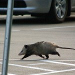 Virginia Opossum - Jail Break