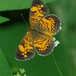 Pearl Crescent - Little, Dainty
