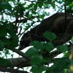 Raccoon - Mulberries!