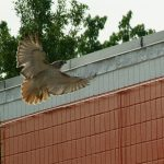 Red-tailed Hawk - Nest Update 3