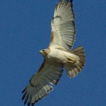 Red-tailed Hawk - Nest Update 5