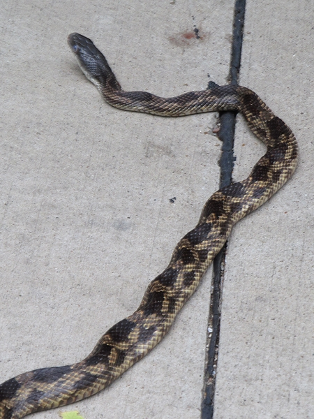Texas Rat Snake - Road Crossing