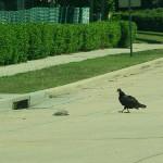 Turkey Vulture - Rabbit Roadkill