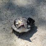 Blue Jay - Orphan?