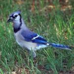 Blue Jay - Vivid