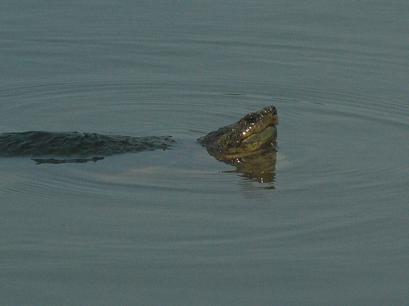 ... she would be forced under the water again by the male?s advances