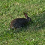 Eastern Cottontail - Hare Trigger