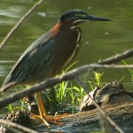 Green Heron - On Patrol