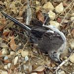 Northern Mockingbird - Mortality