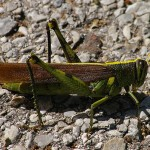 Obscure Bird Grasshopper - Big!