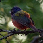 Painted Bunting - A First!