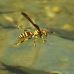 Paper Wasp - Drinking