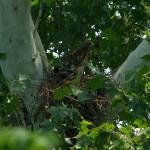 Red-shouldered Hawk - Nest Update 7