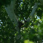 Red-shouldered Hawk - Nest Update, The Last