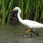 Snowy Egret - Yellow Feet