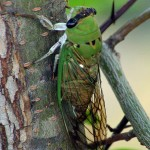 Superb Green Cicada - The Buzz