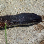 Texas Rat Snake - Dead
