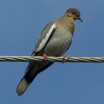 White-winged Dove - Nest Building Materials