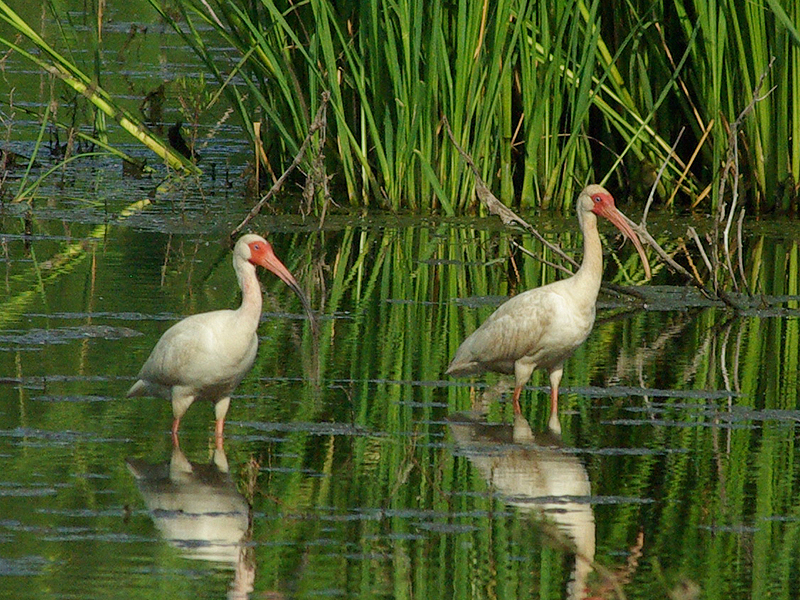 White Ibis - Reflected Beauty