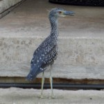 Yellow-crowned Night Heron - Front Yard Birds