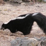 News - Skunk Gets Bottled Up in Forney
