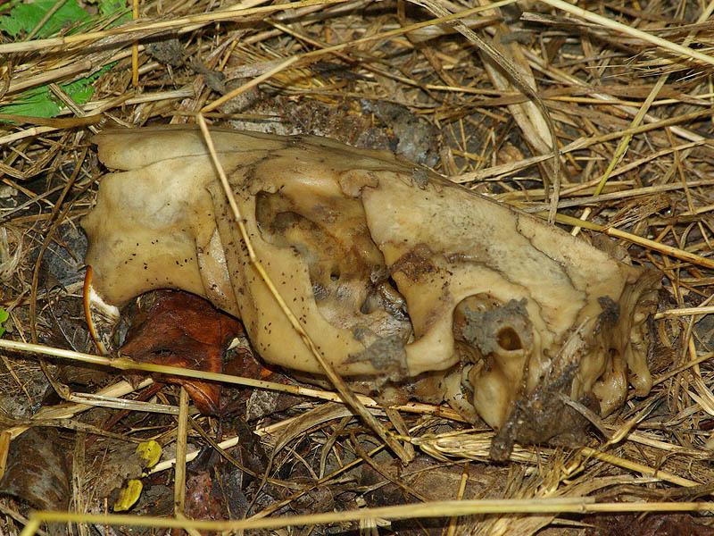 Beaver – Skull and Skeleton – DFW Urban Wildlife
