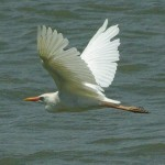 Cattle Egret - Lakeside