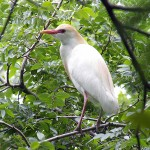 Cattle Egret - Rookery