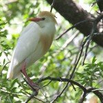 Cattle Egret - UTSWMC Nesting