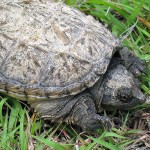 Common Snapping Turtle - Road Crossing