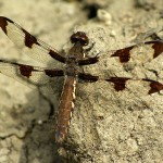 Common Whitetail Dragonfly - At McCommas