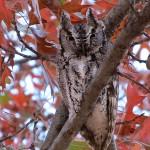 Eastern Screech Owl - In the Yard